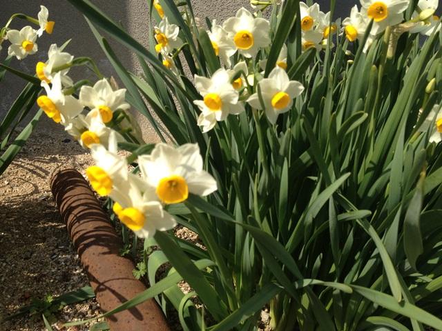 土曜の朝(^^♪ 春のお知らせ♪_a0213806_20354462.jpg