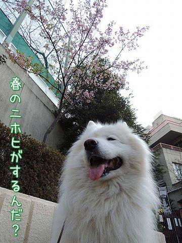 続々・カーネル&桜一番!_c0062832_4565852.jpg