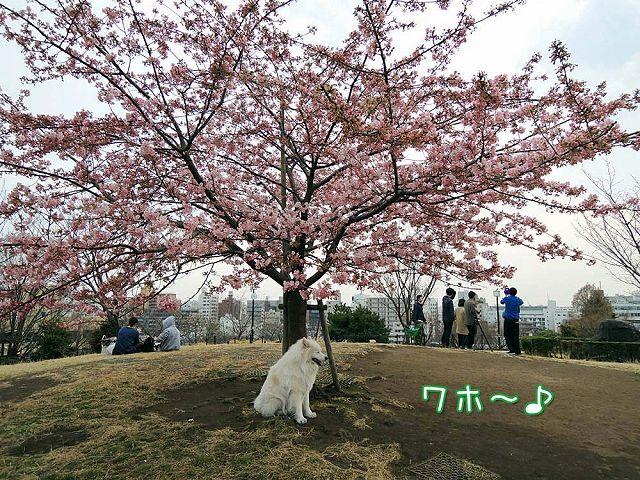 続々・カーネル&桜一番!_c0062832_4571054.jpg