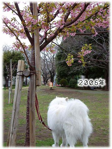 続々・カーネル&桜一番!_c0062832_4572254.jpg