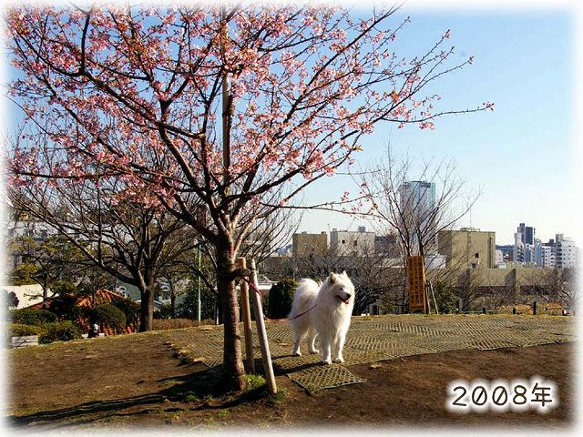 続々・カーネル&桜一番!_c0062832_457308.jpg