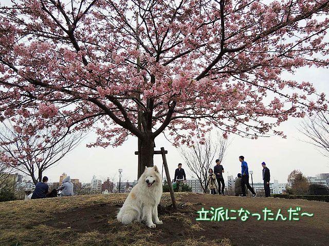 続々・カーネル&桜一番!_c0062832_4573872.jpg