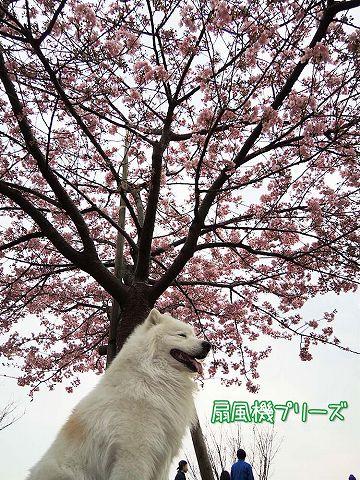続々・カーネル&桜一番!_c0062832_45745100.jpg