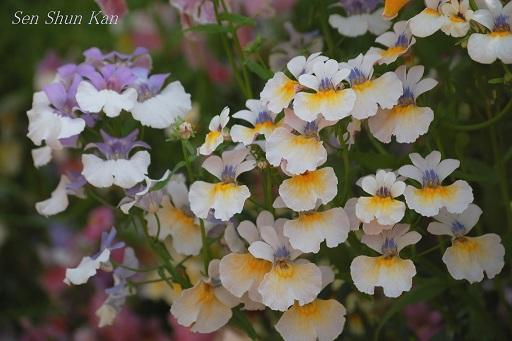 早春の草花展 京都府立植物園_a0164068_22361595.jpg