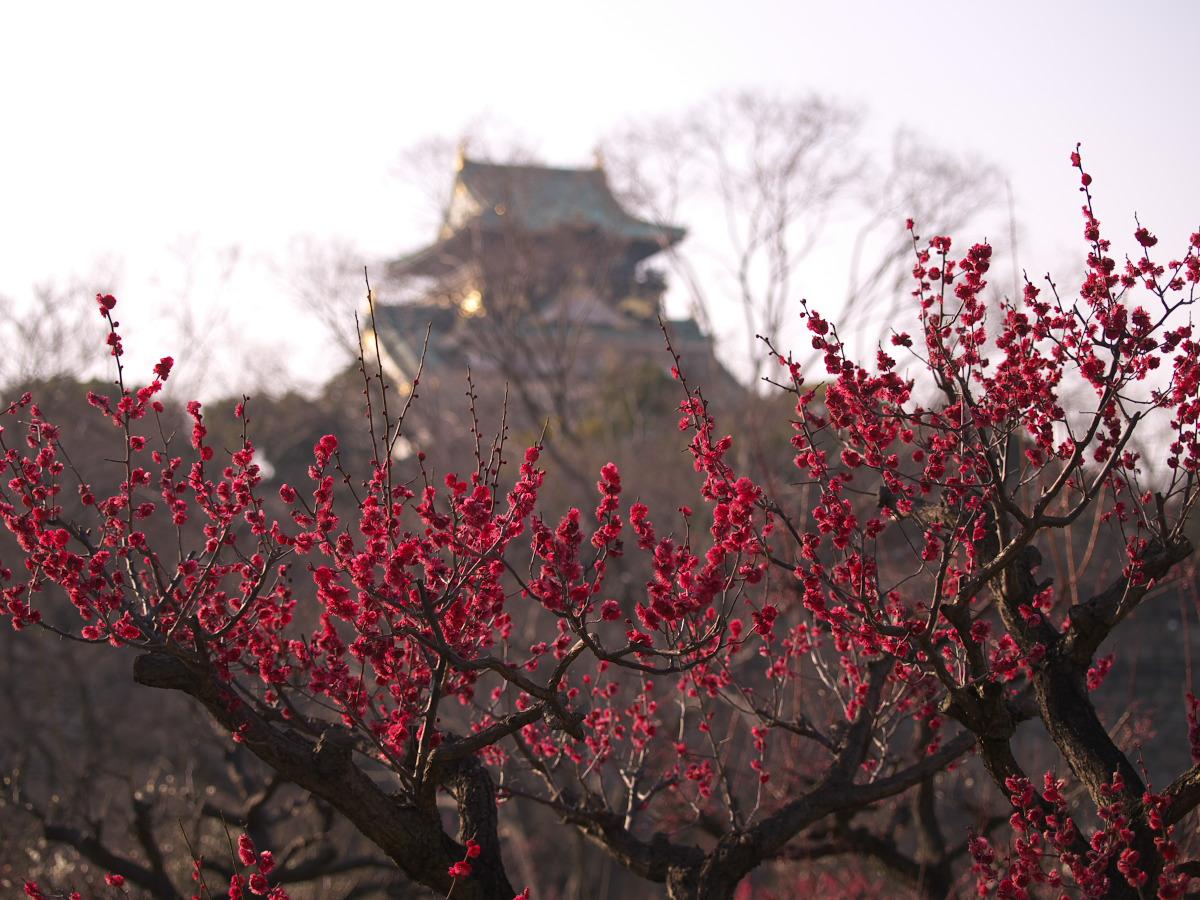梅 2013 <大阪城公園 梅林>_f0021869_23422653.jpg