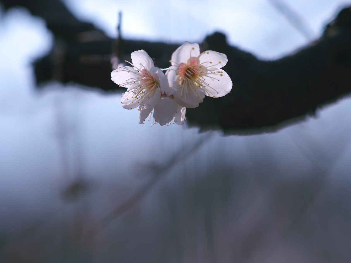梅 2013 <大阪城公園 梅林>_f0021869_23423373.jpg