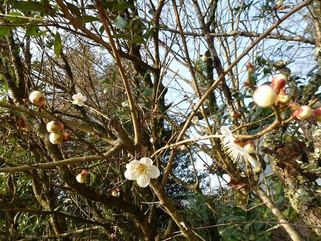 梅に鴬~いよいよ春ですねぇ~そしてお知らせ♫_c0165589_845151.jpg