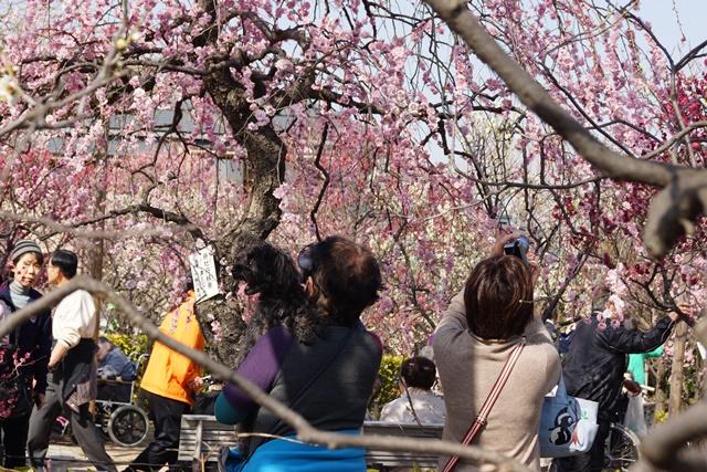 梅の花と可愛い犬たち、気仙沼市 菅原市長に期待、気仙沼菅原市長頑張ってください、梅林が復興を応援_d0181492_22572699.jpg
