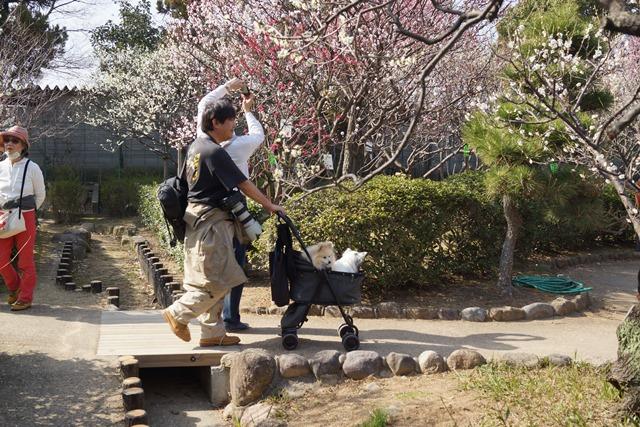 梅の花と可愛い犬たち、気仙沼市 菅原市長に期待、気仙沼菅原市長頑張ってください、梅林が復興を応援_d0181492_22592238.jpg