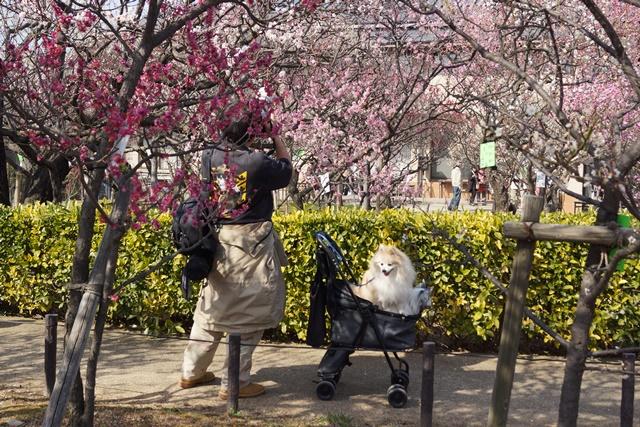 梅の花と可愛い犬たち、気仙沼市 菅原市長に期待、気仙沼菅原市長頑張ってください、梅林が復興を応援_d0181492_22594421.jpg