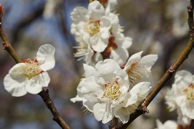 梅の花と可愛い犬たち、気仙沼市 菅原市長に期待、気仙沼菅原市長頑張ってください、梅林が復興を応援_d0181492_23218100.jpg