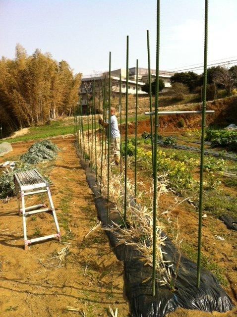 今朝から エンドウ豆の櫓を建てます_c0222448_12514399.jpg