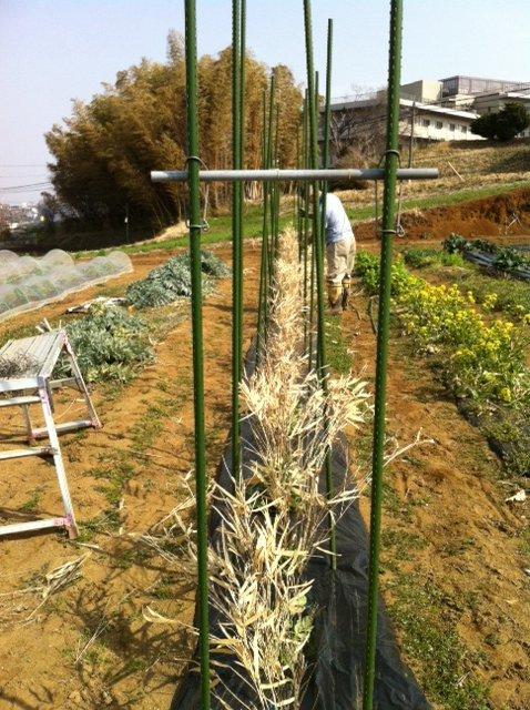 今朝から エンドウ豆の櫓を建てます_c0222448_12515720.jpg
