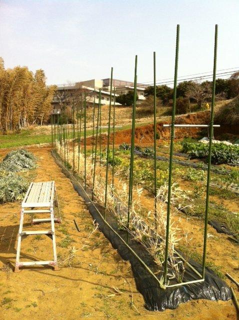 今朝から エンドウ豆の櫓を建てます_c0222448_12525891.jpg