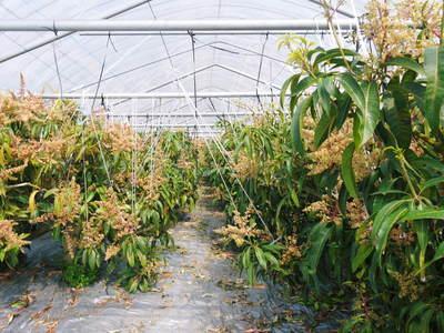 完熟アップルマンゴー 見たことあります?マンゴーの花!_a0254656_17173021.jpg
