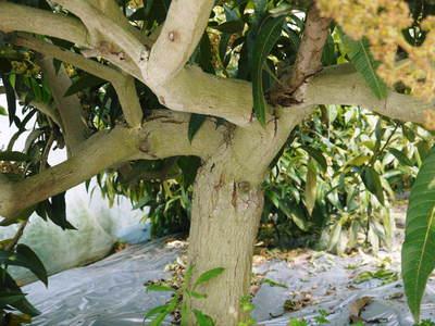 完熟アップルマンゴー 見たことあります?マンゴーの花!_a0254656_1841370.jpg