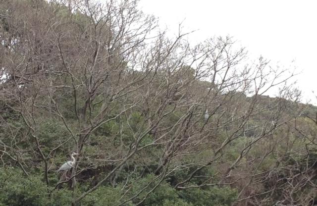 白鷺…のねぐら〜発見(^_^)in愛宕神社_d0082356_10474387.jpg