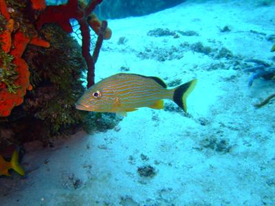 カリブ海の魚たち♪              COZUMEL/MEXICO_e0184067_1744664.jpg