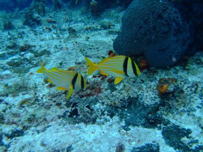 カリブ海の魚たち♪              COZUMEL/MEXICO_e0184067_1754238.jpg