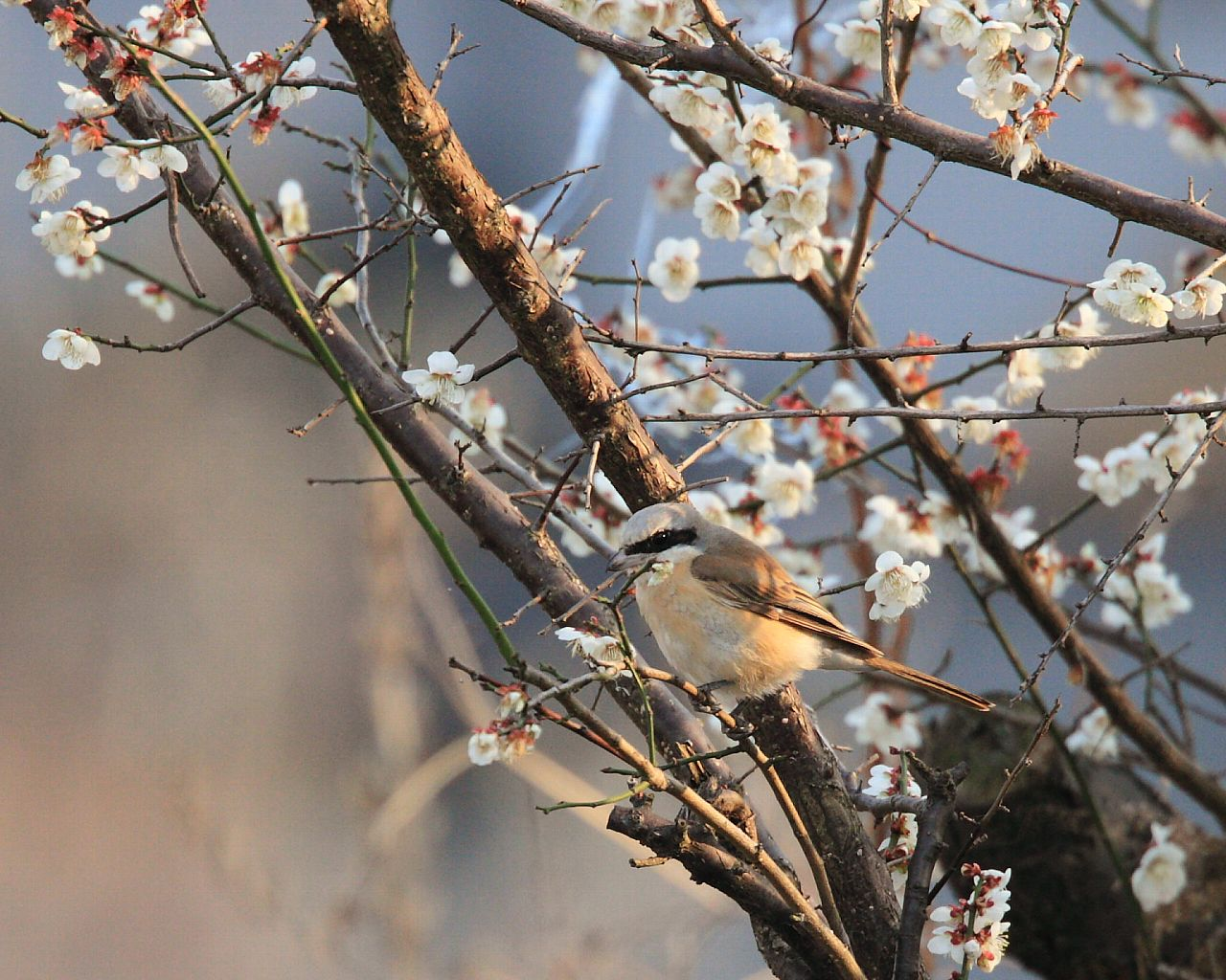 珍鳥が白梅に!_f0105570_21375882.jpg