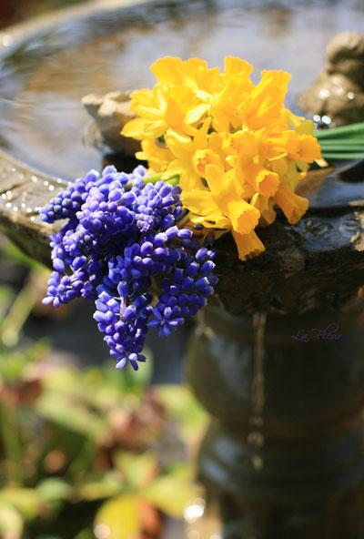 お庭のスイセンとムスカリ_f0127281_21155187.jpg