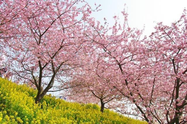 松田山 河津桜_b0112443_2258065.jpg
