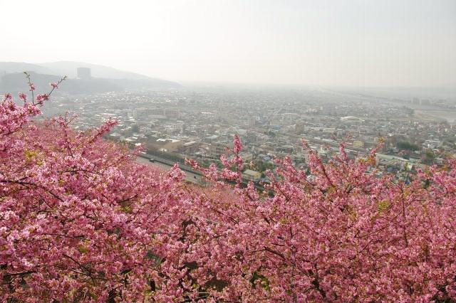 松田山 河津桜_b0112443_23122550.jpg