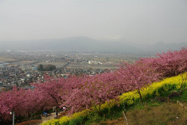 松田山 河津桜_b0112443_23254576.jpg