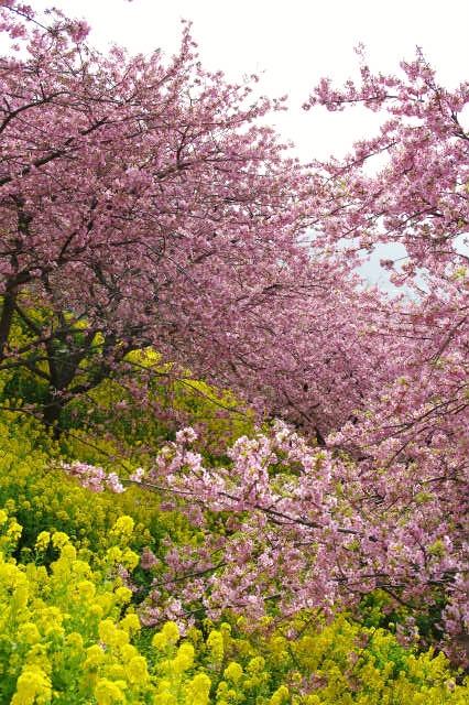 松田山 河津桜_b0112443_23291268.jpg