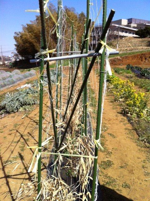 エンドウ豆のネット張りは A氏&Nさん&Sさん&飯田の4名_c0222448_12471671.jpg
