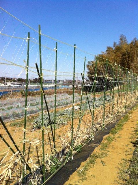 エンドウ豆のネット張りは A氏&Nさん&Sさん&飯田の4名_c0222448_12472766.jpg