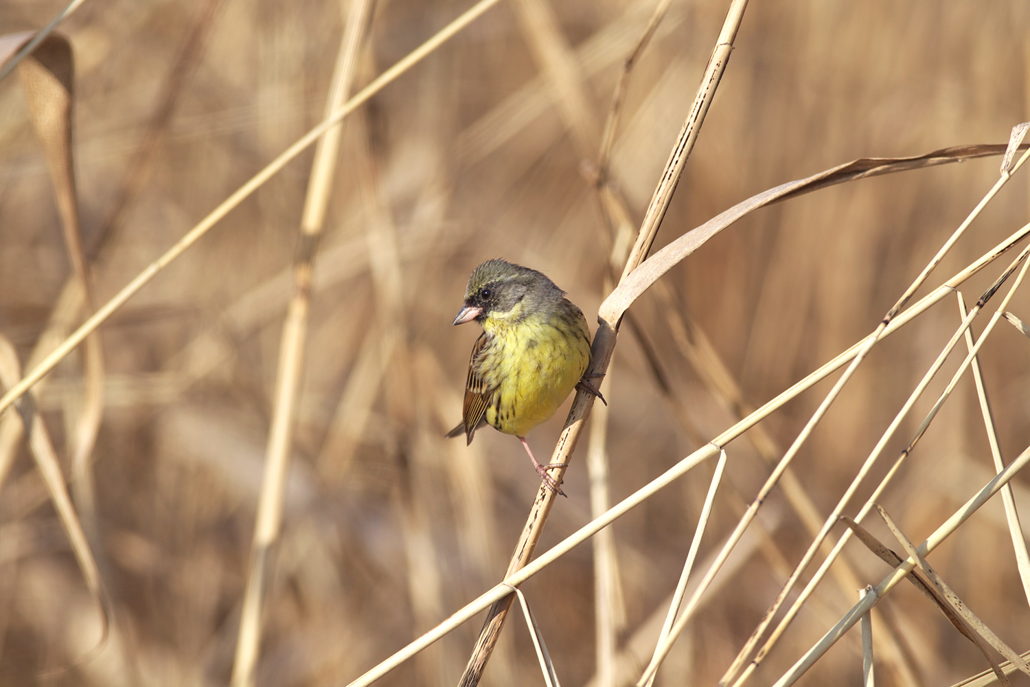 アオジ(Black-faced bunting)_d0013455_11102079.jpg