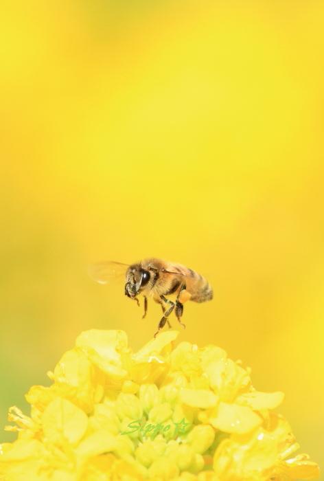 ■■ 春一番の働き者 ~ミツバチ~ 1 ■■_c0195662_2255184.jpg