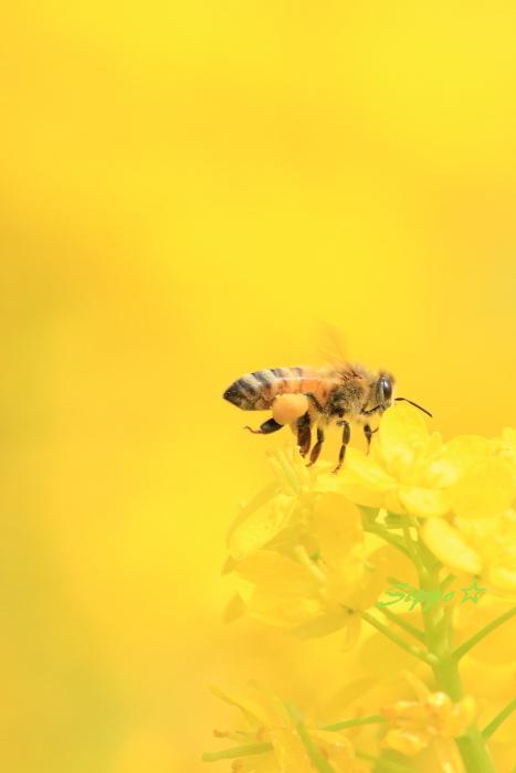 ■■ 春一番の働き者 ~ミツバチ~ 1 ■■_c0195662_2261372.jpg