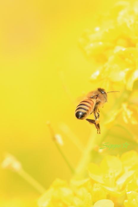 ■■ 春一番の働き者 ~ミツバチ~ 1 ■■_c0195662_226290.jpg