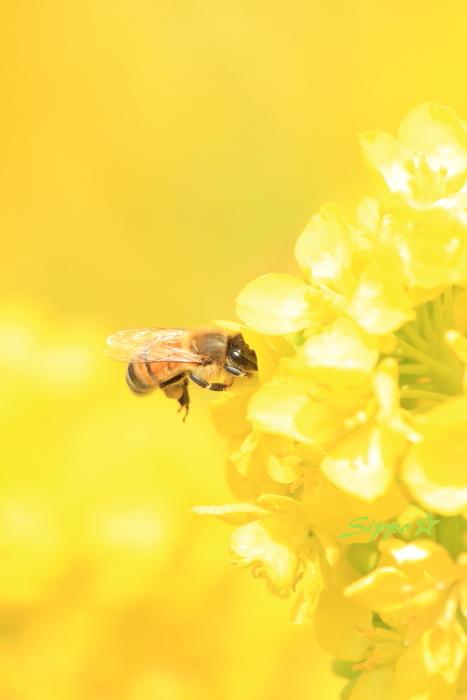 ■■ 春一番の働き者 ~ミツバチ~ 1 ■■_c0195662_2263334.jpg