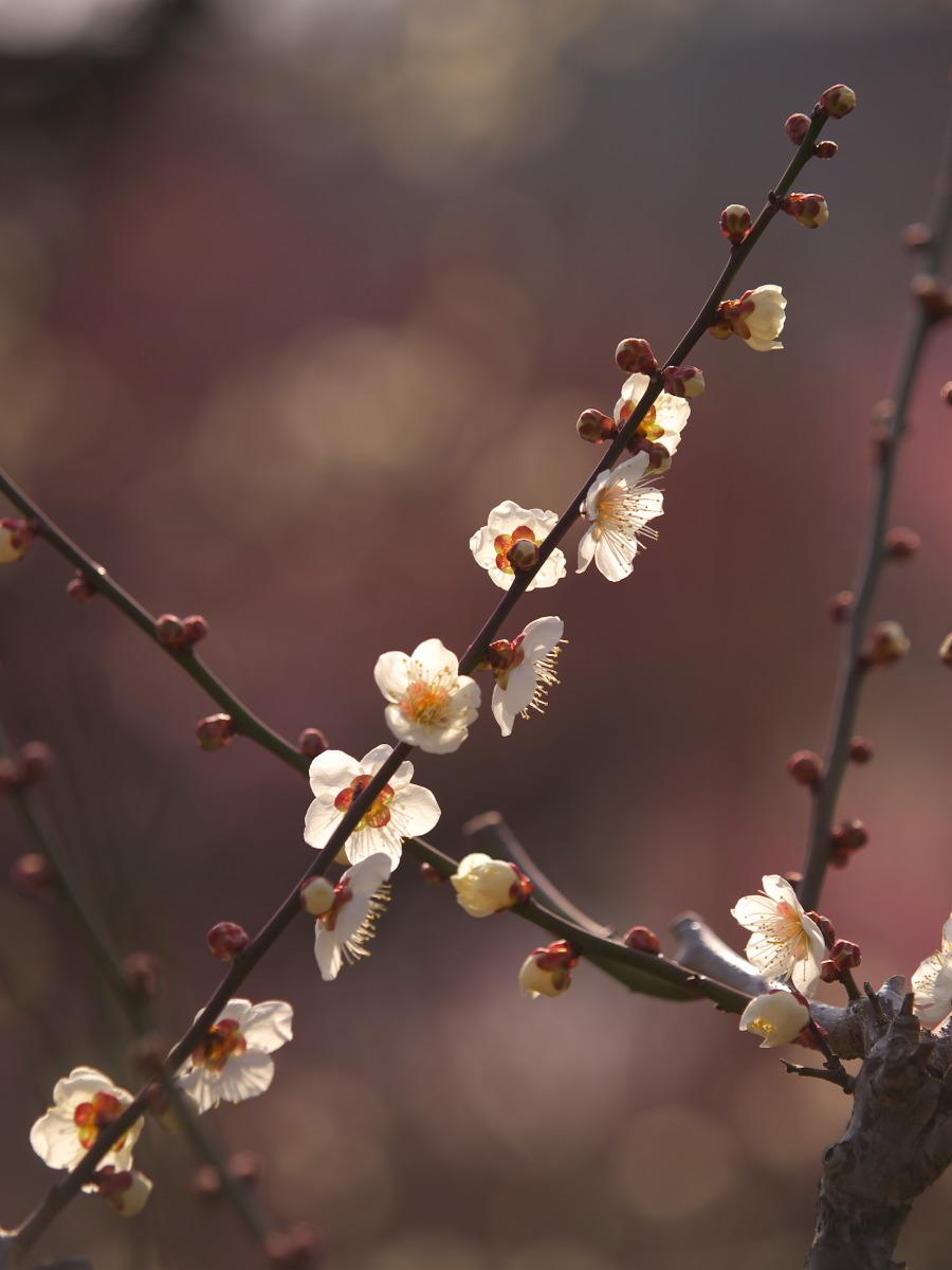 梅 2013 <大阪城公園 梅林> _f0021869_23302418.jpg