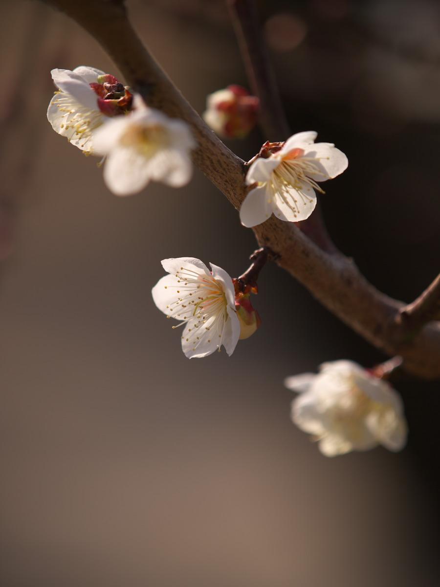 梅 2013 <大阪城公園 梅林> _f0021869_2330362.jpg
