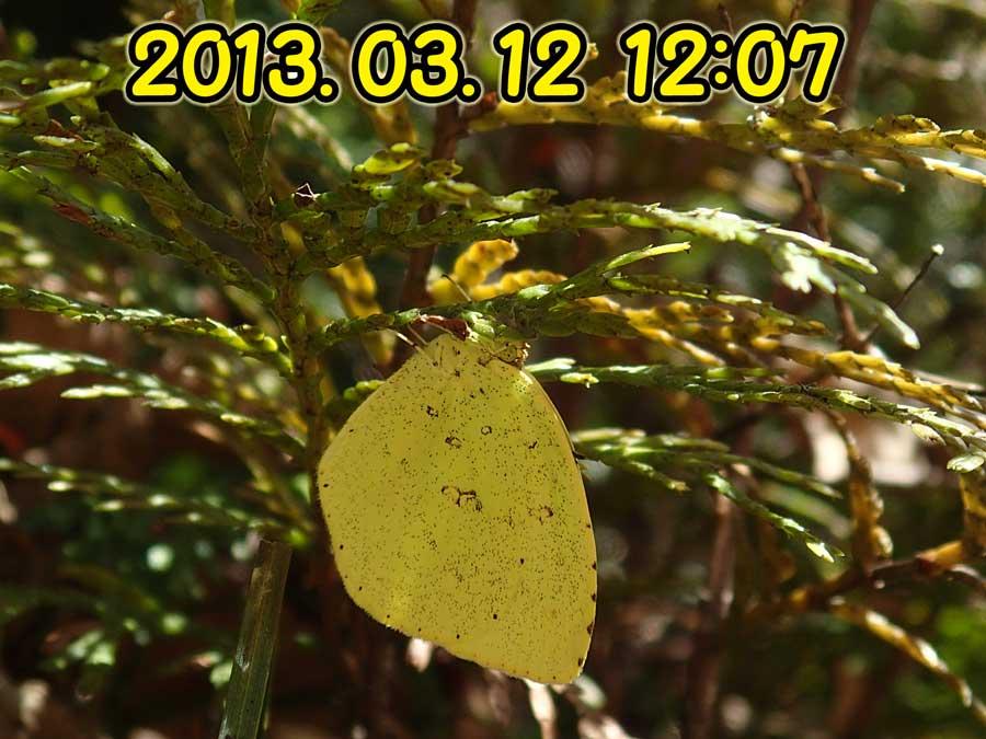 キタキチョウは、まだ越冬中_e0253104_22191489.jpg