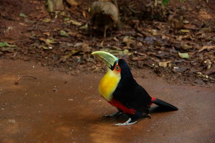 ブラジルの鳥 The Birds of Brazil_e0140365_1940210.jpg