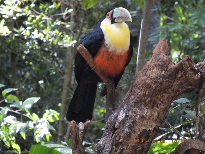 ブラジルの鳥 The Birds of Brazil_e0140365_194147.jpg