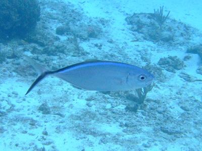 カリブ海の魚たち2♪          COZUMEL/MEXICO_e0184067_1150575.jpg