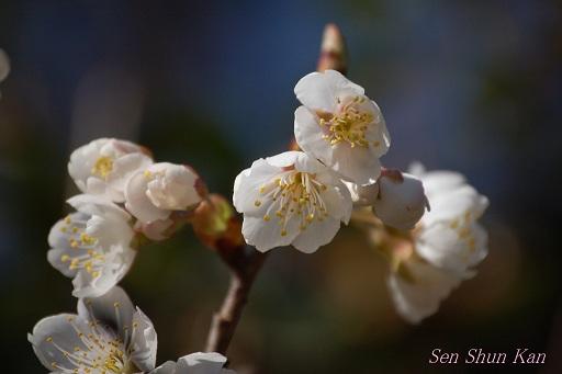 さくらんぼ(暖地桜桃)の花_a0164068_11533838.jpg