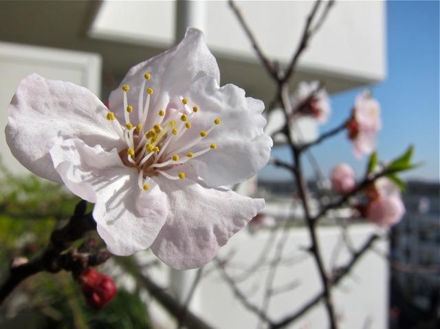 杏の花が咲いたよ。大切な記憶の花だよ。_d0244370_1693696.jpg