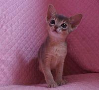 ブルー アビシニアン子猫ちゃん _e0033609_20134949.jpg