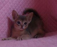 ブルー アビシニアン子猫ちゃん _e0033609_20135664.jpg