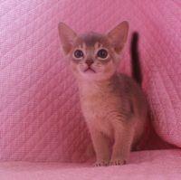 ブルー アビシニアン子猫ちゃん _e0033609_20142389.jpg