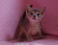ブルー アビシニアン子猫ちゃん _e0033609_20143766.jpg