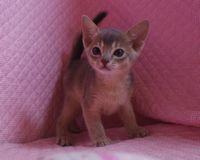 ブルー アビシニアン子猫ちゃん _e0033609_2014445.jpg