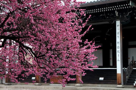 興正寺の紅白梅_e0048413_22415639.jpg